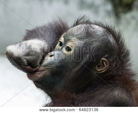 Little Orangutan Makes Fun (pongo Pygmaeus)