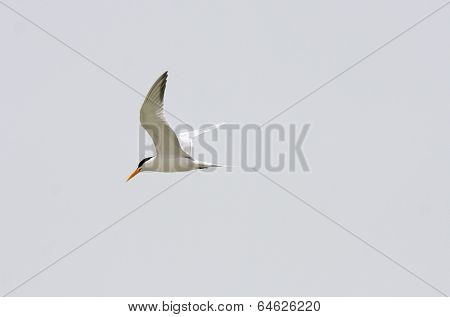 Beautiful tern seabird