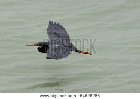 A beautiful black heron flying above water
