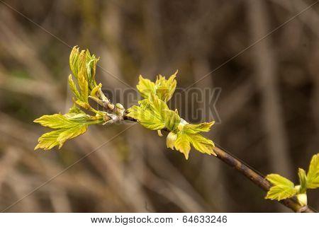 Spring Leaf Buds