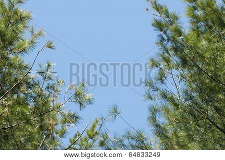 Pine Boughs Against A Blue Sky