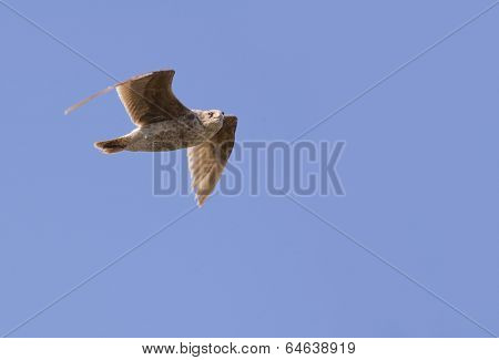 Prairie Falcon in flight looking at the camera
