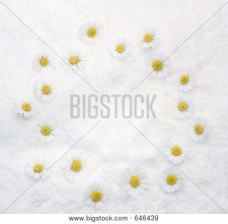 Daisies White Background