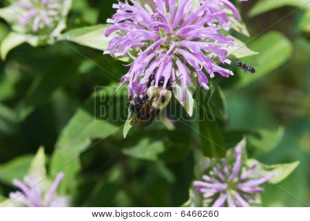 Golden Northern Bumblebee.