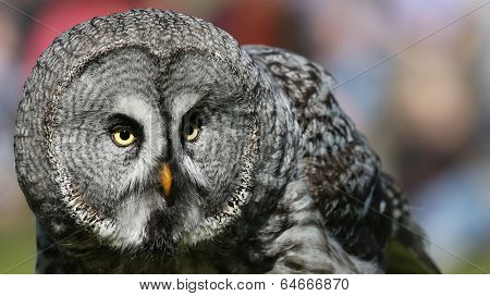 Portrait view of a Great Grey Owl