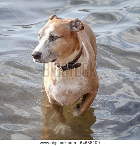 Mixed-breed Dog Wading In Shallow Water