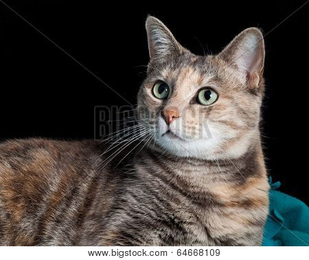 Tortoiseshell-tabby Cat Sitting On A Blanket Looking Surprised
