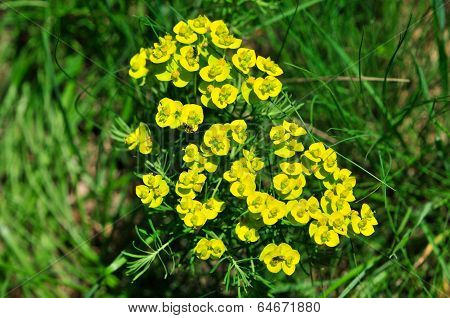 Euphorbia cyparissias, the cypress spurge.