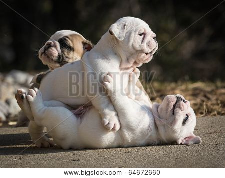 english bulldog puppies play fighting outside in the yard