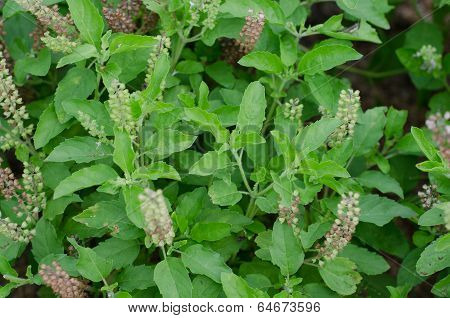Holy Basil, Medicinal holy basil or tulsi leaves poster