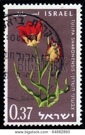 Tulipa Sharonensis