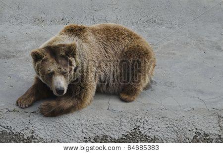 Brown bear rest