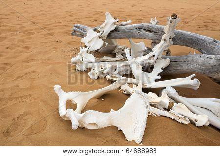 Animal Bones In Desert