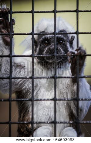 cotton top tamarin small monkey looking thru bars with a sad facial expression poster