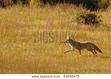 Coyote Running Through Meadow
