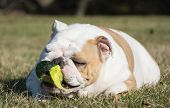 english bulldog playing with tennis ball outside in the grass poster