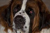A Close Up Of A Saint Bernard Dog poster