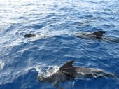 Pilot whales swimming in clear blue sea poster