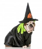 english bulldog wearing witch costume poster