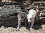 Young, baby timber wolf or gray wolf pups playing outdoors. poster