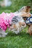 two small young puppies paying outside on green spring grass wearing summer dresses poster