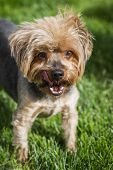 portrait of a groom yorki walking outdoors in springtime with eye allergies poster