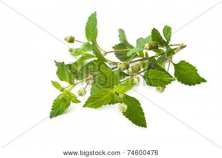 Twig of fresh Aztec sweet herb isolated on white background