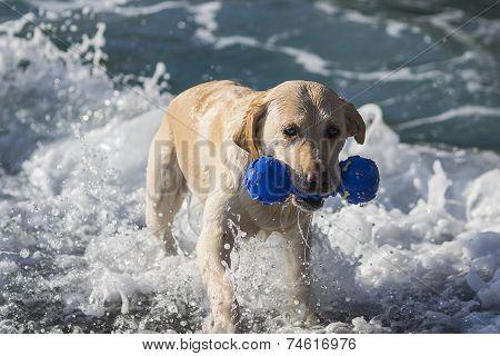 Labrador swims in the sea