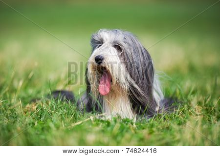 Bearded Border Collie