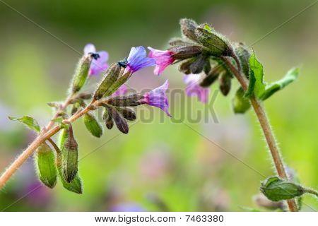 Pulmonaria Longiflora Flowers