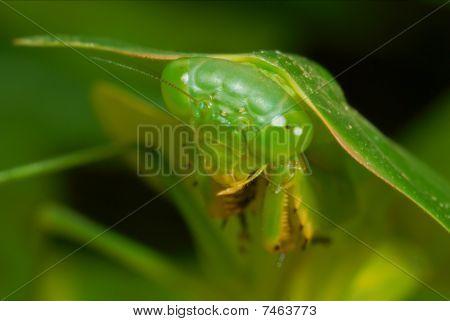 Amazon Leaf Mantis