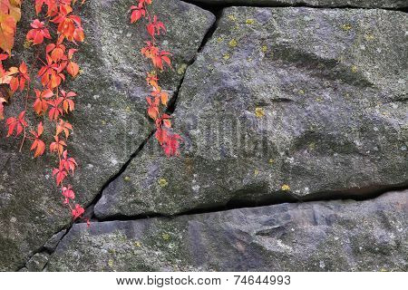 Woodbine Climbing On Stone Wall