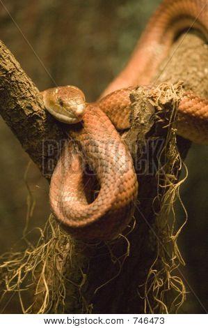 Red Ratsnake / Corn Snake - Elaphe Guttata Guttata