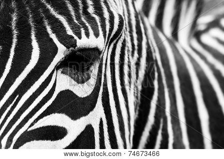 Zebra close up.