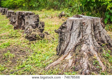 Stumps of a felled  and the drying in nature poster