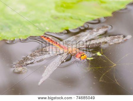 Dragonfly Die In Queen Sirikit Botanic Garden, Chiangmai Thailand.