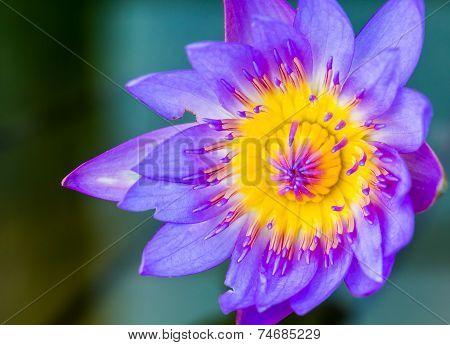 Lotus Flower In Queen Sirikit Botanic Garden, Chiangmai Thailand.
