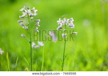 Cardamine Flower