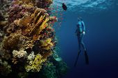 Underwater shot of the lady free diver ascending along the vivid coral reef. Focus on the corals, diver is blurred. Red Sea, Egypt poster