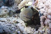 Giant moray (Gymnothorax javanicus) juvenile hiding in the coral reef Red Sea Egypt. poster