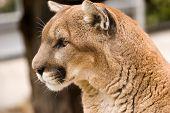 A Cougar (mountain lion) surveys his territory. Close up head shot. poster