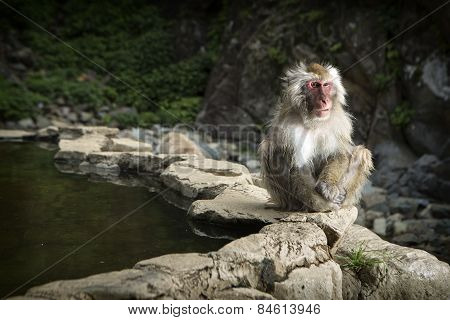 A Japanese Macaque in a monkey park in Japan.