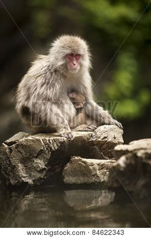 A Japanese macaque sits with its young