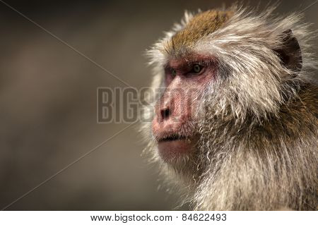 A Japanese macaque looks on from his position