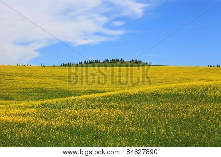 Rapeseed fields near Palouse  in Washington state