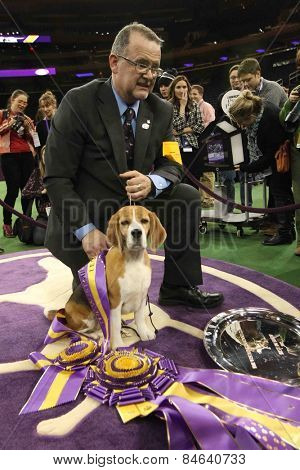 NEW YORK-FEB 17: Miss P, a 15-inch beagle with handler William Alexander after winning Best in Show award at the 139th Annual Westminster Kennel Club Dog Show on February 17, 2015 in New York City.