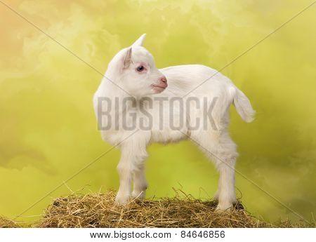 Ten days old little white baby milk goat