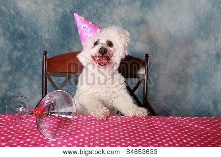 Jolie a Pure Breed Bichon Frise dog celebrates her 12th Birthday.