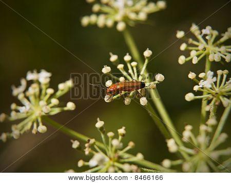 Soldier Beetle On Hogweed