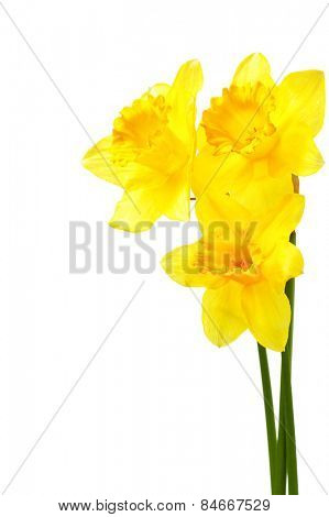 Yellow narcissi isolated over the white background with copyspace poster